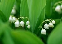 铃兰繁殖与栽培的方法,一举三得?