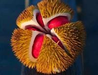 奇葩的五种水果,多种多样比价奇特