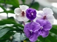 盆栽双色茉莉冬天怎么养在冬天将