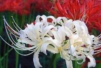 彼岸花是一种十分妖娆美丽的鲜花有着独特之美。