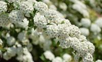 绣线菊的功效与作用以及绣线菊的药