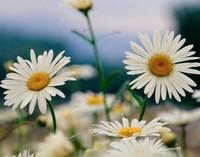 雏菊的花语,在西方,是用来送小女孩的一种专用的花卉