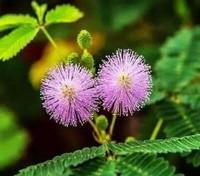 含羞草的种植方法,含羞草不能过冬