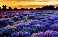 薰衣草的三大功效与作用以及禁忌,薰衣草可以制成香料