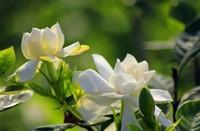 栀子花怎么养 栀子花的养殖方法和注意事项