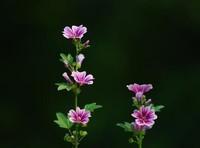 锦葵常见的病虫害以及防治方法,快来看看吧