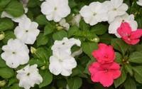凤仙花的花语以及传说,凤仙花以示纪