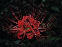 彼岸花的花语是什么不同国家彼岸花花语是不一样的 一起来看下吧!