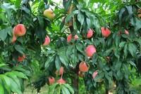 农村种植:种植桃树需要注意哪些方面