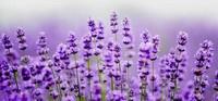 薰衣草的四大养护方法以及养护薰衣