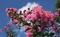 家里适合种紫薇树吗?有什么风水作用