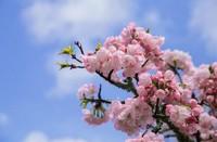 樱花的花语和象征以及寓意介绍,日本
