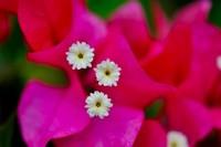 盆栽三角梅一直不开花,这该怎么办?