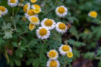 日常生活中干菊花怎么保存才不会发
