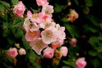 蔷薇花常见的最受欢迎八大品种,花团锦簇,红果累累