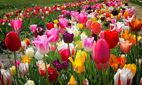 郁金香养护需要注意哪些技巧?郁金香是长时间的日照花卉