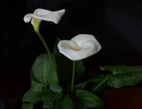 马蹄莲养在室内对人体有害吗?生长期