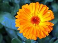 万寿菊常见的病害和虫害以及防治方法