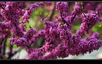 美丽的紫荆花养护技巧,简单易学,新手必看