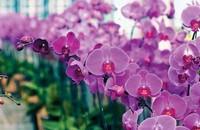 所以颜色不同的蝴蝶兰的花语和象征