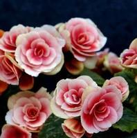 丽格海棠开完花后正确处理方法保证丽格海棠顺利生长和发育