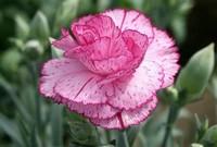 康乃馨送母亲要几朵 分别都代表什么含义?