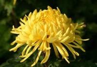菊花养护小技巧,遮光必须严格,不能间断,直到现蕾