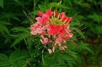 醉蝶花的六大价值以及醉蝶花的功效