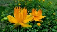 金莲花的种植方法和养护过程,沉浸在它们美丽的世界里