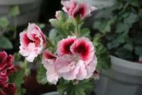 天竺葵的养护方法和注意事项,天竺葵