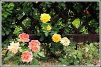 生活中防止月季花烂根,黄叶,不开花,来