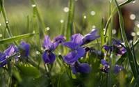 紫罗兰的种植方法,颜色鲜艳,花朵神秘