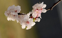 杏花常见病虫害以及防治方法,杏花是