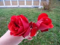 东红花的种植栽培方法,新手必看