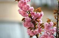 樱花树的病虫害防治方法以及症状表