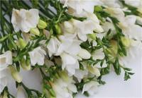 香雪兰的花语及传说,小苍兰属又称香雪兰是鸢尾科的一个属!