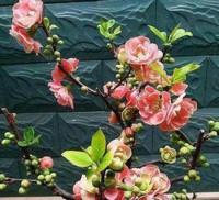 让人看了心情豁然开朗的花树,美化环境,提高家居档次
