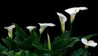 如何种植栽培马蹄莲?开花很长,通常在