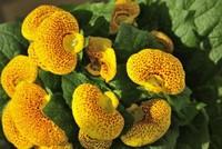 蒲包花常见的病虫害以及防治方法,多年生草本植物