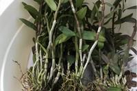 石斛小苗上盆根需要消毒吗?促进开花的方法和时间