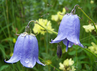 各种不同的铃兰花的生活习惯竟然与众不同?最大特点是它的花瓣形状?