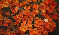龙面花的花语是什么?龙面花的花期是什么时候?