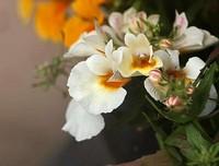 龙面花的养护方法与技巧以及养护的注意事项