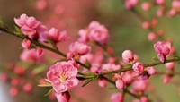 梅花的养护技巧 花入冬前对梅花的养护十分重要