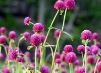 千日红的病虫害以及防治方法,提早预防,让花儿继续美下去
