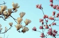 白兰花的病虫害以及防治方法,白兰花可以做香料和药用