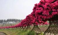 """杜鹃花在西塘的文化生活里,是一个重要角色,别错过西塘的""""杜鹃花开"""""""