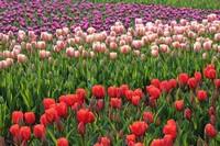 郁金香常见病虫害及其防治,春季主要