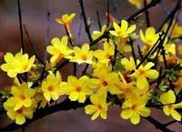 迎春花盆景的养护管理技巧,做好养护