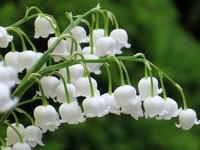 铃兰花表达着什么的花语和文化含义